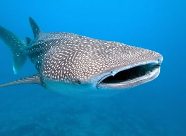 The Gentle Giants - Whale Sharks
